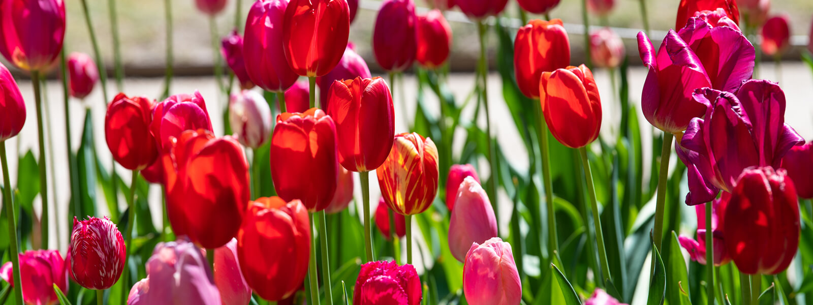 Tulips at Gardenesque